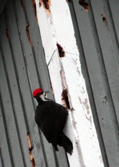 pileated woodpecker damage Burnaby BC Canada
