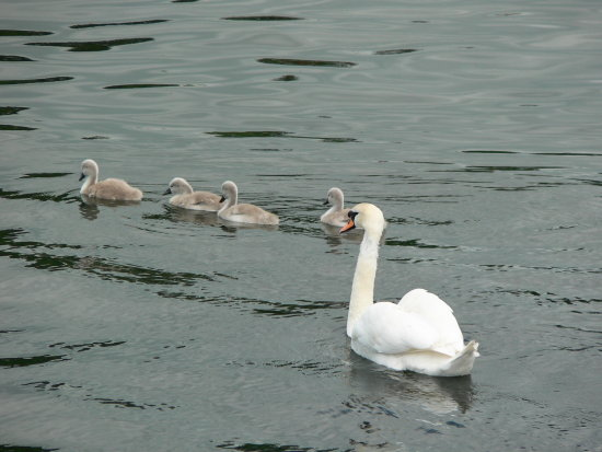 Swans Lake District Windemere