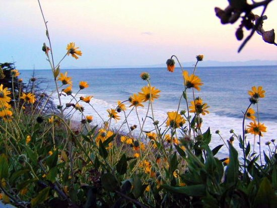 WILD FLOWERS IN CALIFORNIA AT THE BEACH