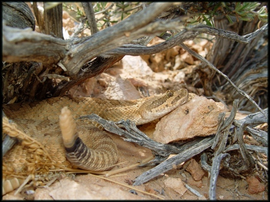 Gravid female Grand Canyon rattlesnake.