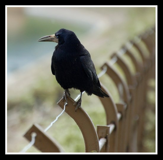 rook bird carlsbirdclub nature chewvalleylake somerset