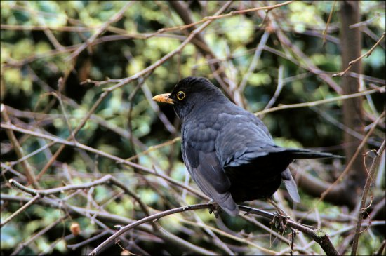 bird blackbird