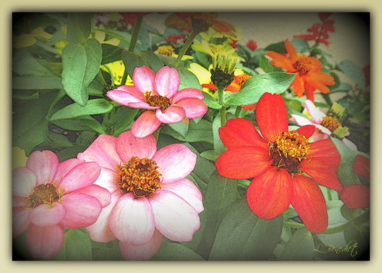 I planted these Zinnias in a bed in front of my garage (street side of the house) thinking they w...