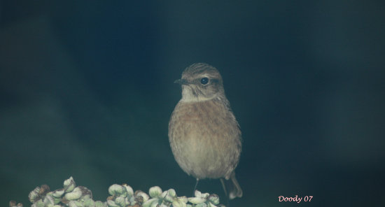 stonechat through pilkington k glass with no filter