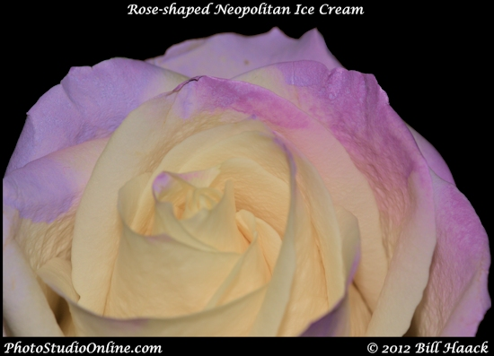 stlouis missouri usa flower rose Neapolitan purple macro 013112