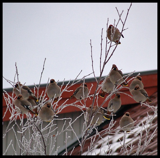 waxwings birds