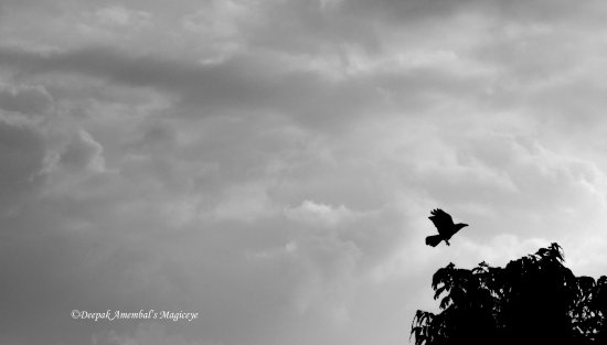 crow landing tree monsoon cloud sky mumbai india