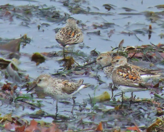 Western Sandpipers, July 2, 2008