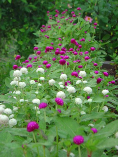 flowers india dagshai himachal pradesh nature of