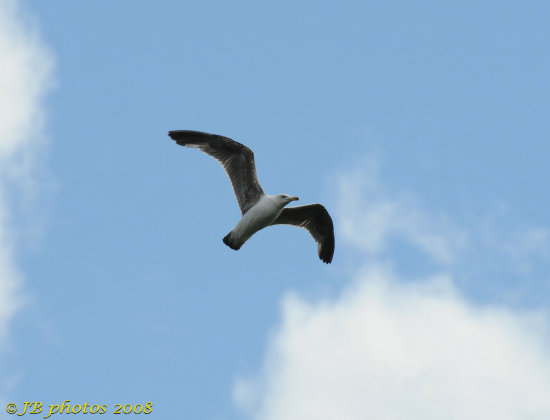 seagull bird flight narure sky