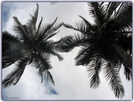 "Twin Towers Looking Down... ( Coconut Trees...""Tree of Life"" )