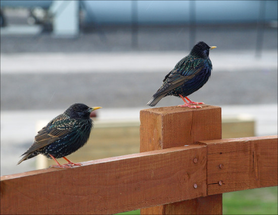 starlings fence manchester airport