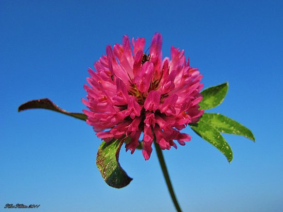 Serice Pink Clover Flower Blue Sky Small Insects Skane Sweden 2011