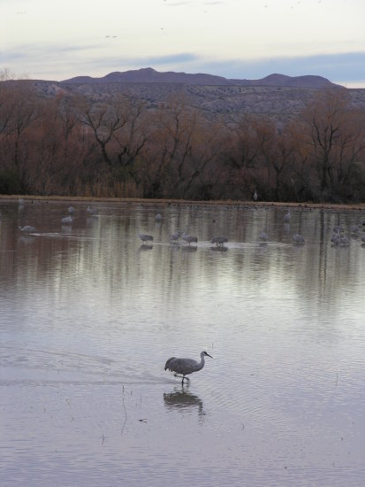 Sandhill crane at sunrise Bosque del Apache