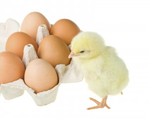 Chicken equipment suppliers Poultry equipment suppliers Fertile chicken eggs f