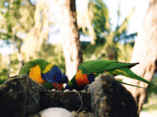 Australia Long Island birds colors