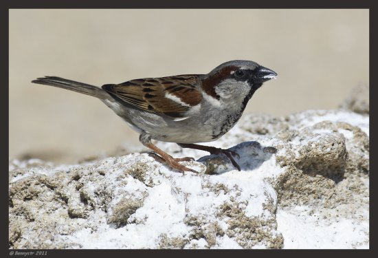 Male House Sparrow enjoying a salt snack on the seashore...