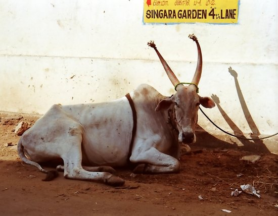 india madras chennai animal cow cattle indix madrx chenx animx cattx cowx