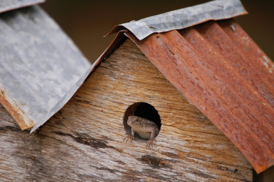 a lizard that has taken up residence in one of our birdhouses