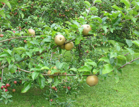 August 2012 - Summer Break  20. Alfriston Clergy House - loads of apples in the orchard