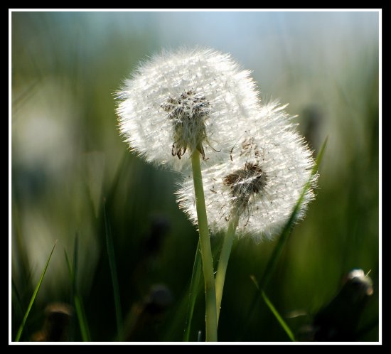 light dandelion seeds flowers nature burnhamonsea somerset somersetdreams