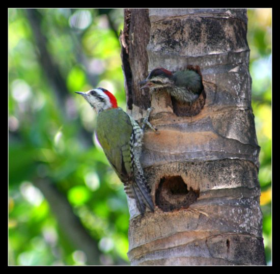 woodpecker chick saffi9