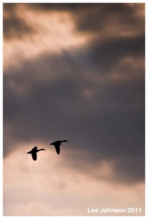 Wildlife Natural History Landscape Ducks Sky Spideyj sunset
