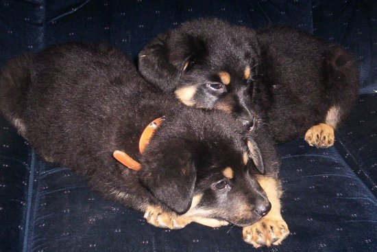 our little rottweilers