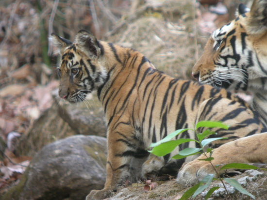 Tigress and young cub Bandhavgarh