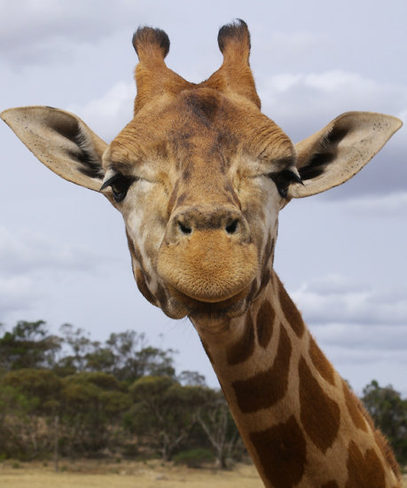 giraffe head shot animal mammal nature wildlife