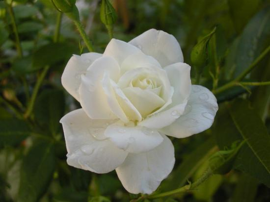 rose flower white