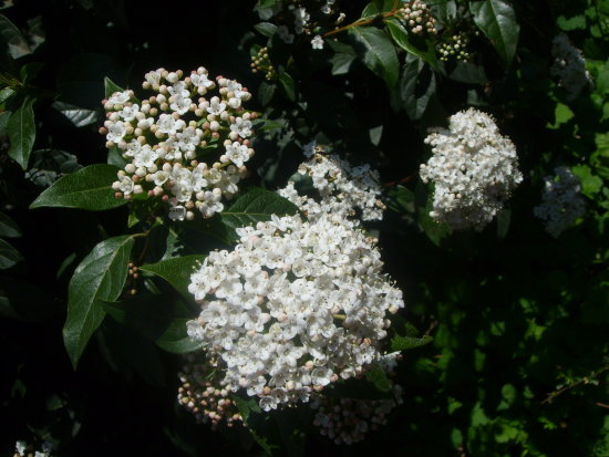 viburnum tinus white blossoms bush green sunshine
