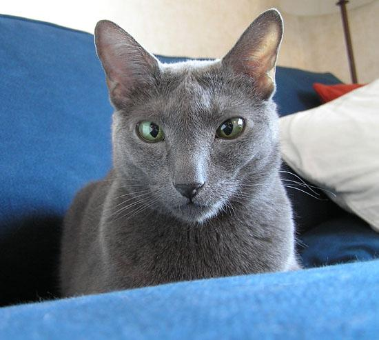 This is our Russian Blue male, Pojken, yesterday afternoon.
