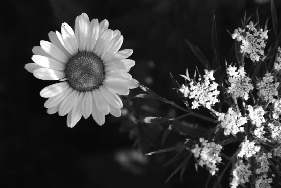 daisy wild carrot flower meadow summer monochromefriday