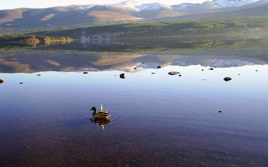 Ducks on the loch at aviemore