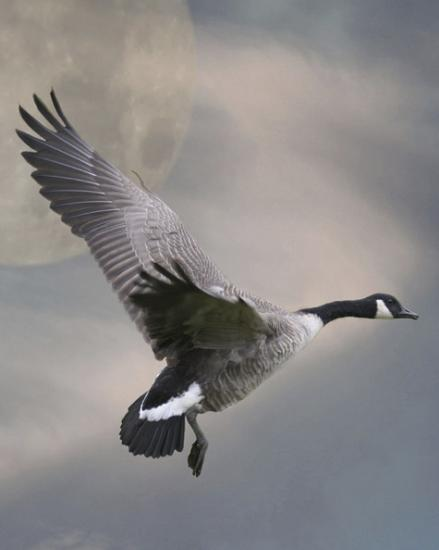 goose geese wildlife nature spring birds flight