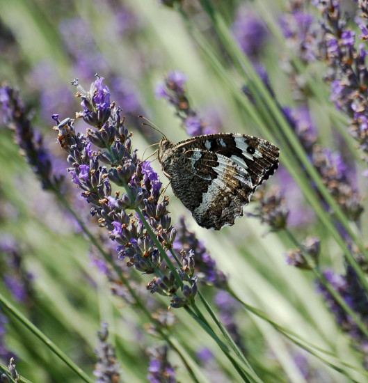 riez provence butterfly white admiral