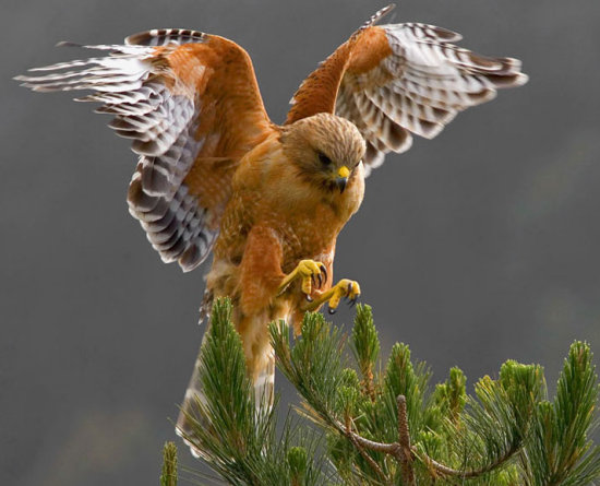 Red Shouldered Hawk 4