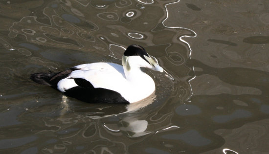 12. And this one looked like a Magpie Duck - you can tell I'm very knowledgeable when it comes to...