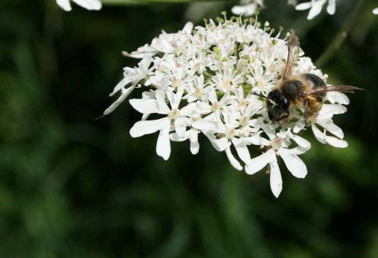 honey bee white