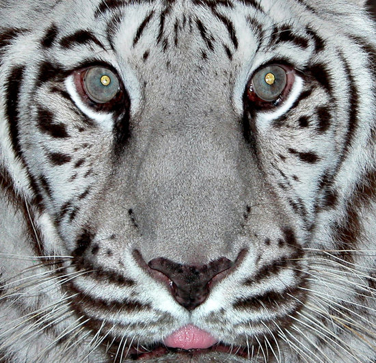 white tiger animals wild cat