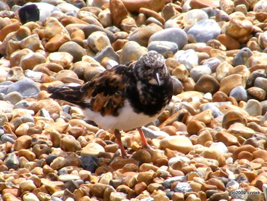 Turnstone wader bird pebbles nature