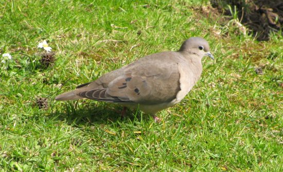 chile eared dove