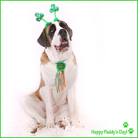 dog saint bernard green saint patricks day irish