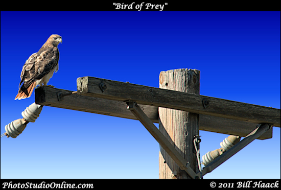 stlouis missouri usa bird prey telephone_pole WPS 100411