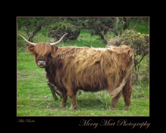 Cow Cattle