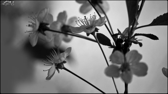 bloom blooms nature landscape iran macro bw