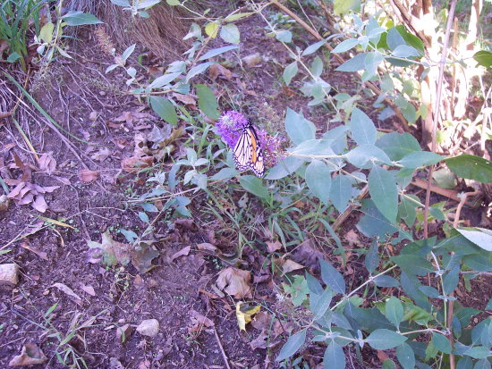 Another butterfly photo - I cropped this picture, but it just doesnt seem close enough