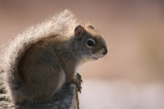 nature squirrel closeup