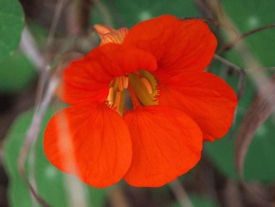 And here's the very last nasty (Nasturtium) of the season.  I'm sure cuz we tore out the plants. ...